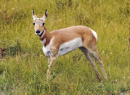 Antelope in the Wilderness Staring at Camera Stock Photo - 13608167