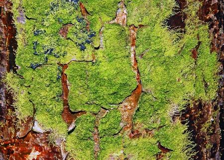 Tree Cortex Texture Background Stock Photo - 13608186