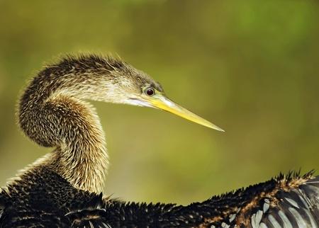 Anhinga Snake Bird with Open Wings Imagens - 13652368