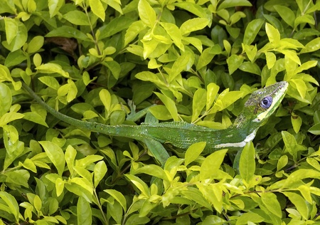 bloodsucker: Green Lizard Camouflaging in the leaves Background