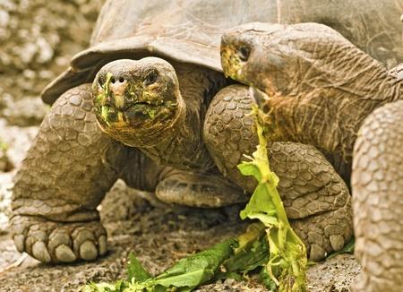 sluggish: Galapagos Giant Tortoises - Selective Focus Stock Photo