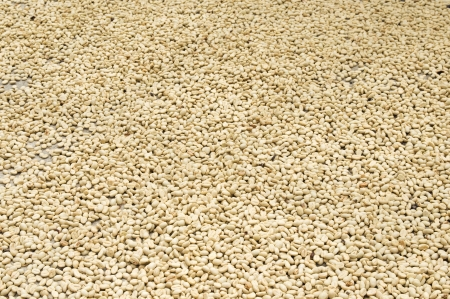 armenia: Coffee Beans in the Drying Process