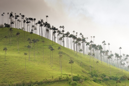 armenia: Giant Wax Palms on a Misty Hill Stock Photo