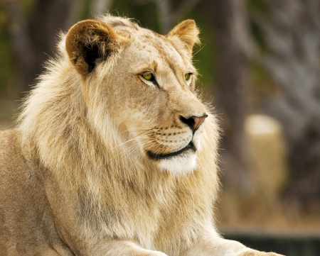 African Lion Profile photo