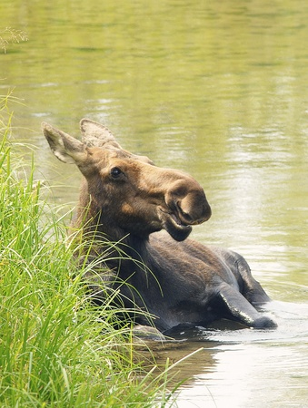 Wild Cow Moose by the River