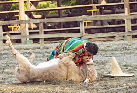 QUIMBAYA, COLOMBIA - AUGUST 12: Cowboy performing Cardiopulmonary Resuscitation CPR to a donkey in a   humoristic dramatization on August 12, 2012 in Quimbaya, Colombia.