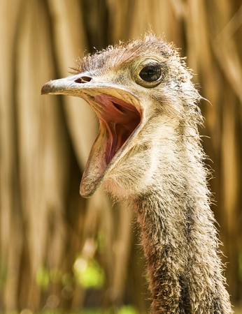 ugly mouth: Wild African Ostrich Stock Photo
