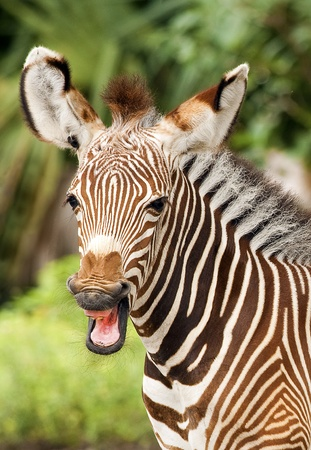 burchell: Close-up portrait of a baby zebra