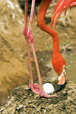 American Flamingo Nesting Stock Photo - 17447935
