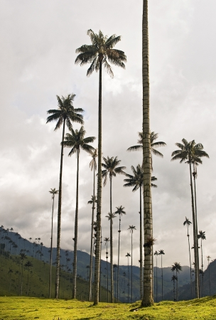 andean: Giant Wax Palms at Cocora Valley, Colombia Stock Photo