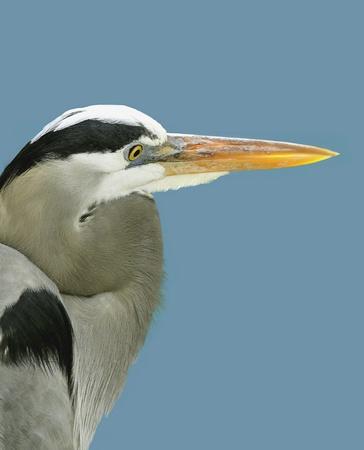 Great Blue Heron Stock Photo - 18154124