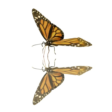 butterflies flying: Posed Monarch Butterfly with Reflection Stock Photo