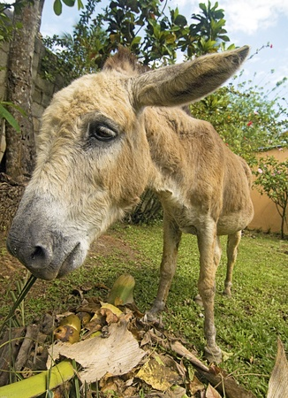 jack ass: Small Donkey Feeding - Wide Angle  Stock Photo