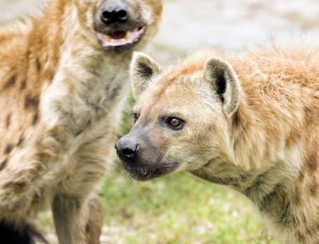 iene: Selvatiche iene maculate sulla caccia