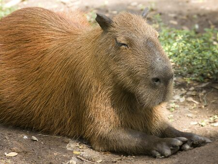 Capybara, the largest rodent in the world Stock Photo - 21028521