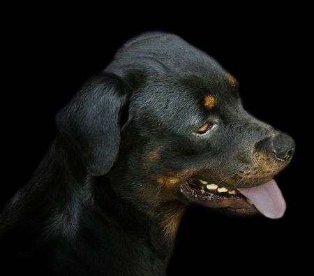 Black Rottweiler in the Shadows photo