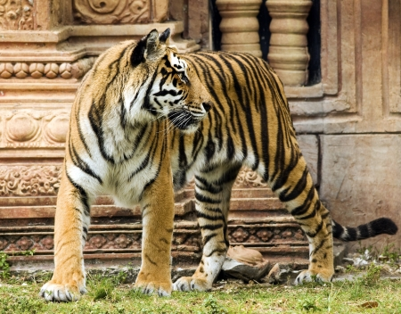 Bengal Tiger by Indian Structure