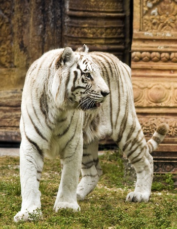 White Bengal Tiger by Indian Structure Banco de Imagens