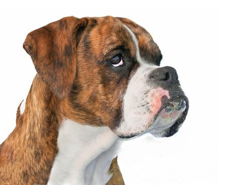 Boxer Dog Profile Banco de Imagens