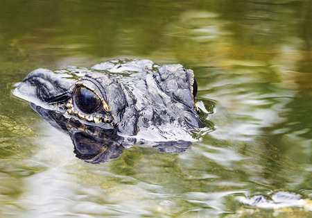 caiman: Alligator Stalking in the River Stock Photo