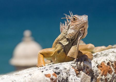 Iguana Climbing an Old Fortress Stock Photo