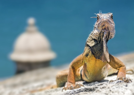 Iguana Climbing a Colonial Fortification