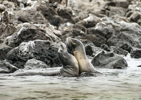 Affectionate Sea Lions at Galapagos Islands