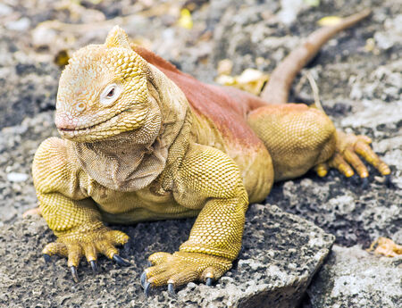 Land Iguana at Galapagos islands, Ecuador. Banco de Imagens
