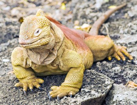 Land Iguana at Galapagos islands, Ecuador. Banco de Imagens - 31062334
