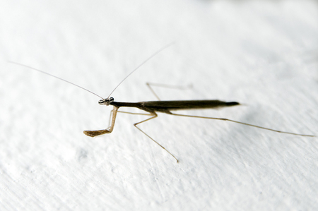 Brown Mantis full body closeup photo