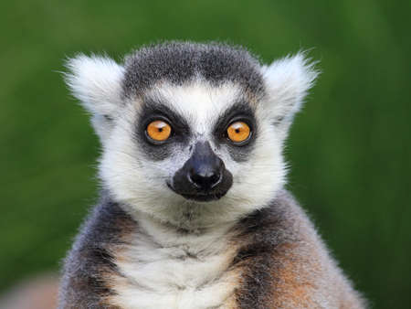 monkey face: Close-up portrait of lemur catta ring tailed lemur, Prague Zoo