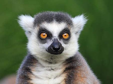 Close-up retrato de anillo de lémur de cola lemur catta, Zoológico de Praga