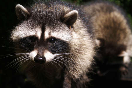 A close up of the face of a curious raccoon looking directly into the camera