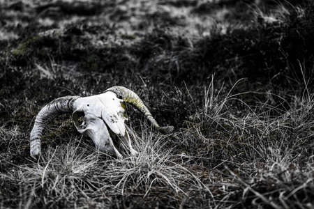 A largely black and white image of a rams skull on the grass with hints of green colour throughout