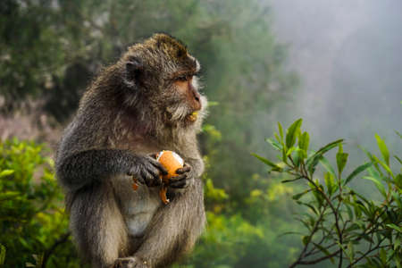 A Balinese long-tailed monkey eats a stolen boiled egg in the undergrowth of Mount Batur. Its mouth is covered with egg. Stock Photo