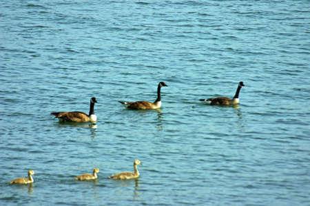 Duck Family Stock Photo - 218667