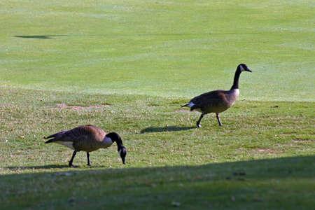 Ducks on Green Stock Photo - 218640