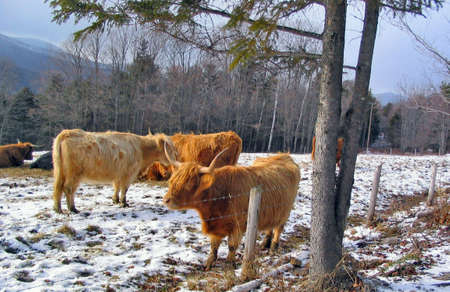 Cattle Stock Photo - 231571