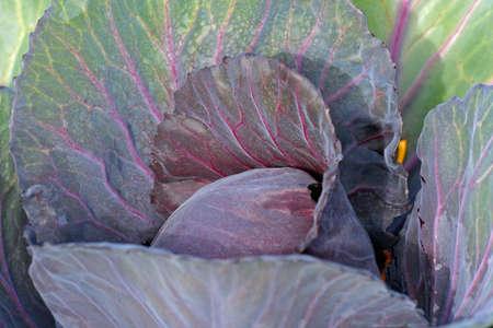 Alaskan Cabbage photo