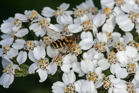 Bee and Flower 免版税图像