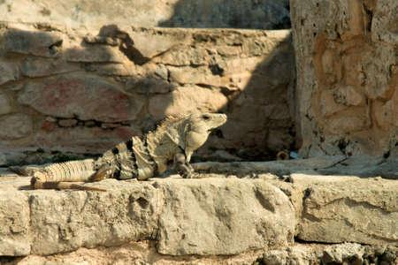 Iguana resting photo