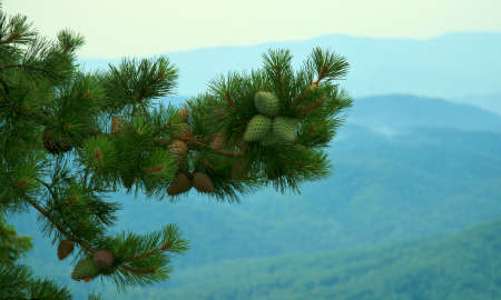 Young Pine Cones in the Smoky Mountains Stock Photo - 3206707