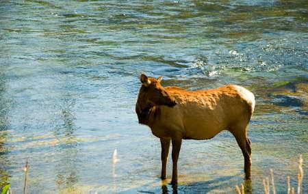 Elk taking a break in the river in Yellowstone Park. photo