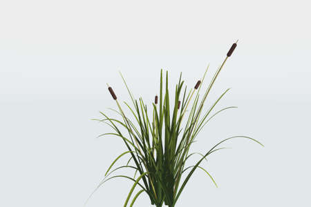 Reed Plant Isolated Against A White Background Stock Photo Picture