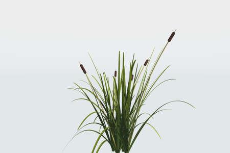 Reed planten geïsoleerd tegen een witte achtergrond  Stockfoto