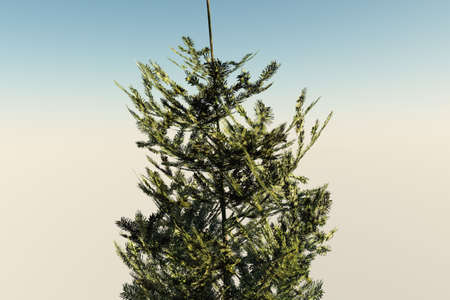 Fir tree isolated against a soothing background. photo