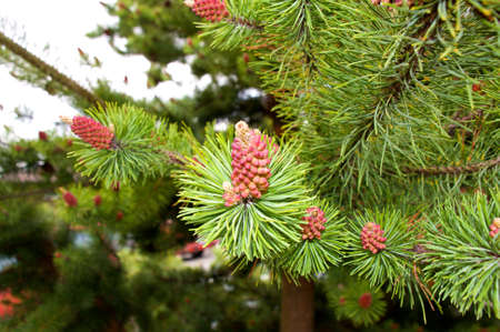 colord: Uniquely colord pine cones on a tree in Washington. Stock Photo