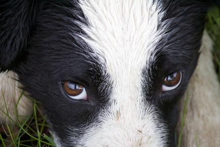 ボーダーコリーの目