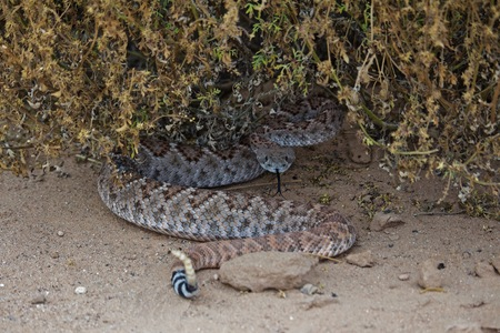 Rattle Snake Coiled Under Bush, Tongue Out