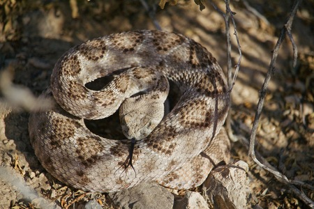 Rattle Snake coiled on summer day, forked tongue out, head down